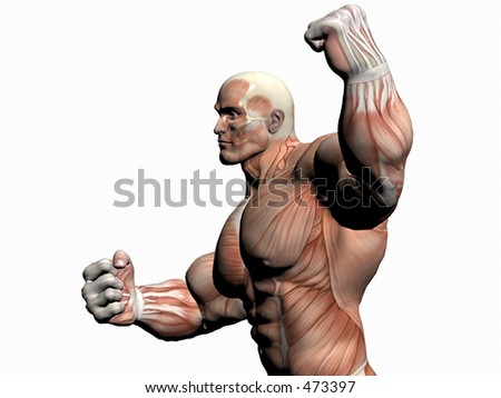 Anatomically correct medical model of the human body, body builder close up.