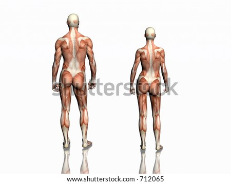 Anatomically correct medical model of the human body, man and woman with muscles showing.  3D illustration, render over white. View from back.