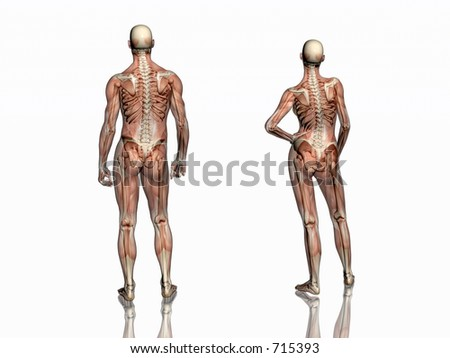 Anatomically correct medical model human body stock illustration anatomically correct medical model of the human body man and women muscles and ligaments ccuart Gallery