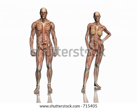 Anatomically correct medical model of the human body, man and women, muscles and ligaments showing transparent and skeleton projected into the body. 3D illustration over white. Front  view.
