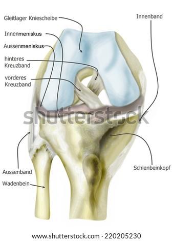 Anatomie Knee Stock Illustration 220205230 - Shutterstock