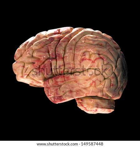 Anatomy Brain - Side View on Black Background - stock photo