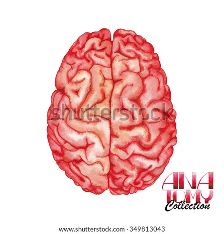 Anatomy collection - brain. Watercolor organ  isolated on white background
