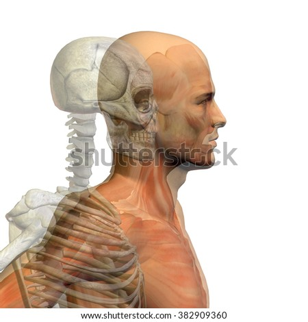 Anatomy concept conceptual human man body chest, head isolated on background, metaphor to medical, science, health, male, biology, medicine, bone, anatomical, muscular, system, face, cranium, spine - stock photo