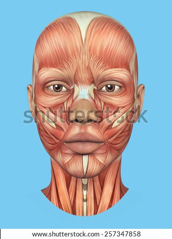 Anatomy front view of major face muscles of a woman including procerus, masseter, orbicularis oculi, zygomaticus, buccinator and nasalis.  - stock photo
