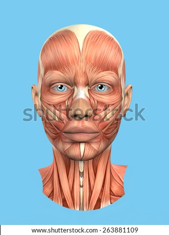 Anatomy Front View Major Face Muscles Stock Illustration 263881109 ...
