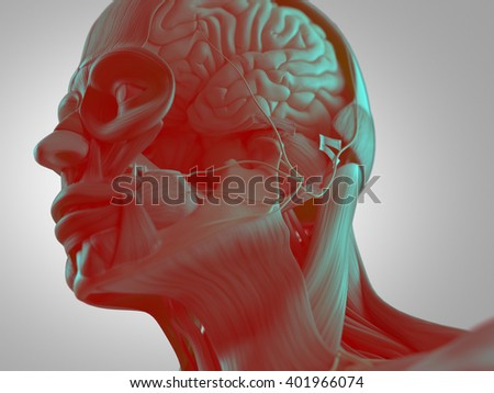 Anatomy head muscles and brain. 3D illustration.