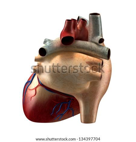 Anatomy Heart - Back View - stock photo