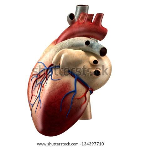 Anatomy Heart - Left View - stock photo