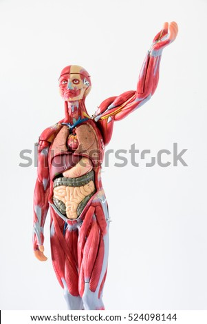 Anatomy human body model on white background.Part of human body model with organ system.Human muscle model.Medical education concept.