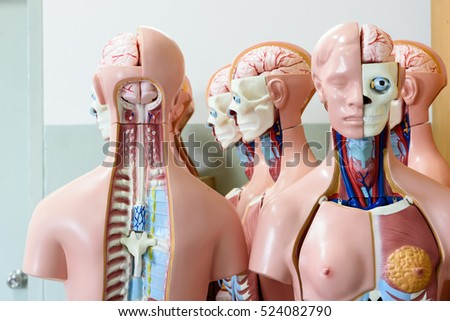 Anatomy Model Anatomy Room Medical School Medical Stock Photo