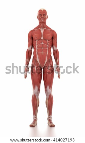 Anatomy muscle map white isolated - anatomy position