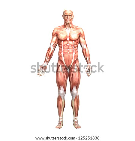 Anatomy of a man with muscles