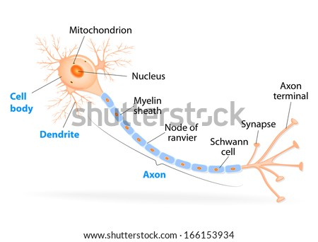 Anatomy of a typical human neuron. axon, synapse, dendrite, mitochondrion,  myelin  sheath, node Ranvier and Schwann cell. diagram - stock photo