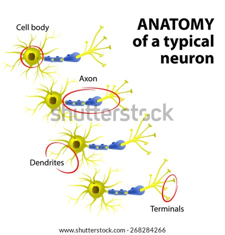 Anatomy Typical Multipolar Neuron Dendrite Cell Stock Illustration