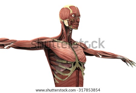 anatomy of a woman on white with clipping path.