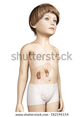 anatomy of a young child - urinary system - stock photo