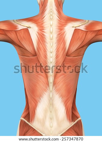 Anatomy of female back featuring major muscular groups including trapezius, latissimus dorsi, infraspinatus and external abdominal obliques.  - stock photo