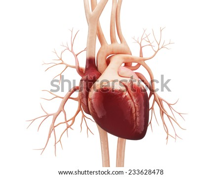 Anatomy of Human Heart - stock photo