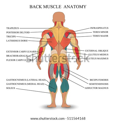 anatomy human muscles back template medical stock illustration, Muscles
