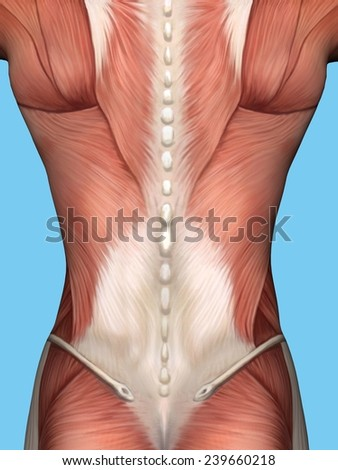 Anatomy of male back featuring major muscular groups including trapezius, latissimus dorsi, terres major and external abdominal obliques.  - stock photo