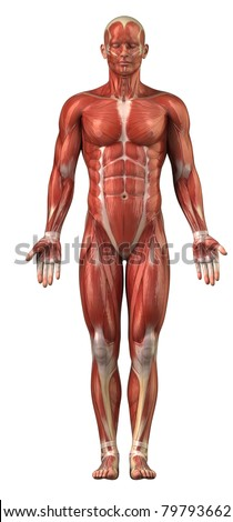 Anatomy of man muscular system - anterior view - stock photo
