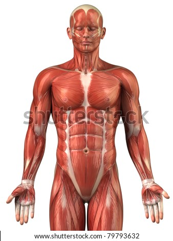 Anatomy of man muscular system upper half - anterior view
