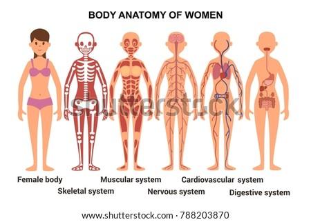 Anatomy female body skeletal muscular nervous em ilustrao stock anatomy of the female body skeletal and muscular nervous and circulatory systems illustration ccuart Images