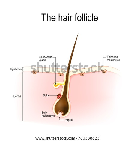 Follicle Stock Images, Royalty-Free Images & Vectors ...