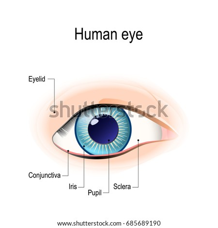 Anatomy human eye front view external stock illustration 685689190 anatomy of the human eye in front view external view schematic diagram detailed ccuart Choice Image