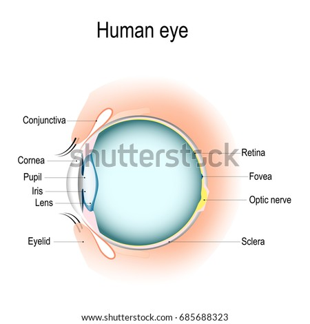 Anatomy Human Eye Vertical Section Eye Stock Illustration 685688323 ...