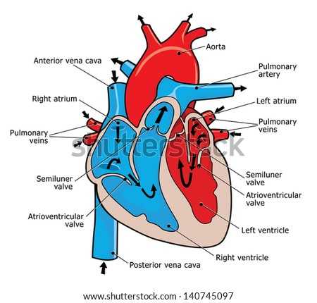 heart valve stock images, royalty-free images & vectors | shutterstock, Muscles