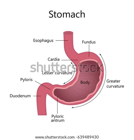 Anatomy human stomach internal structure stock illustration anatomy of the human stomach internal structure ccuart Image collections
