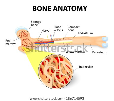 Anatomy Long Bone Periosteum Endosteum Bone Stock Illustration ...