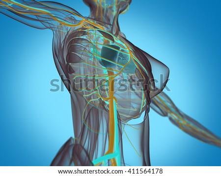 Anatomy torso xray view, vascular system, heart. Female. 3D illustration. - stock photo