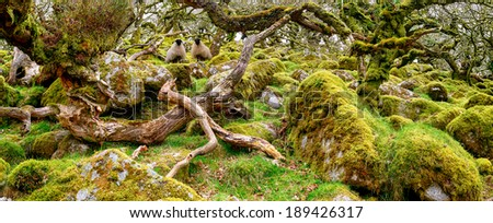 Ancient gnarled and stunted oak tree trunks growing out of mossy boulders in the famous Wistman's Wood a remote high altitude oakwood and a national nature reserve on Dartmoor National Park in Devon