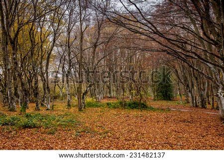 ancient holms and firs trees with long branches in fall season with a carpet of leaves