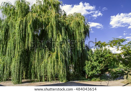 Ancient large willow tree on background of the sunny sky,front of house in the garden