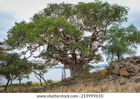 Ancient lonely tree on the island of lake Ziway in Ethiopia Africa