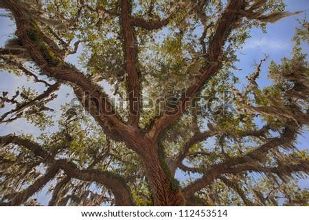 Ancient oak tree.  Florida, USA. - stock photo