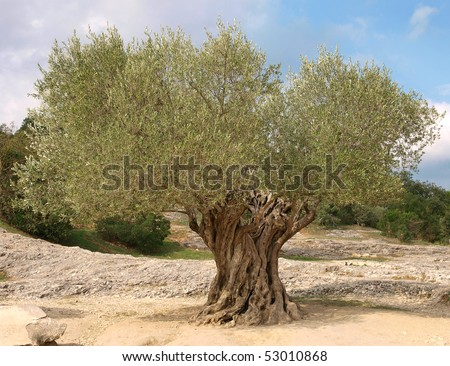 Ancient olive tree - stock photo