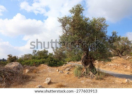 Ancient olive tree. Bible landscape. Judaean Mountains, (Judaean Hills). Israel