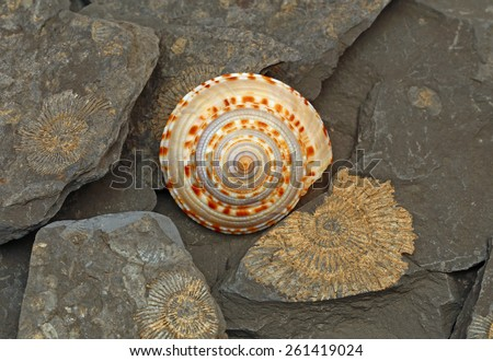 Ancient shell on the background with fossil imprints of shells, petrified many million years ago, hunting in the GeoPark Swabian Alb, Germany, close up - stock photo