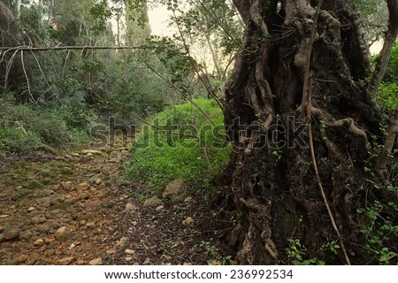 Ancient tree besides a river bed. Rocks and vegetation during winter - stock photo