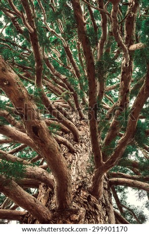 Ancient tree with many large branches. - stock photo