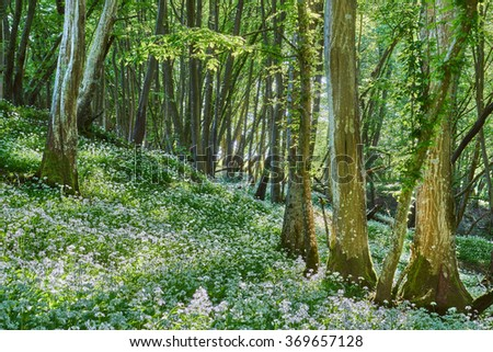 ancient woodland with Ramsons