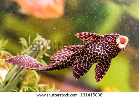 Ancistrus - Sucker Fish in Aquarium - stock photo