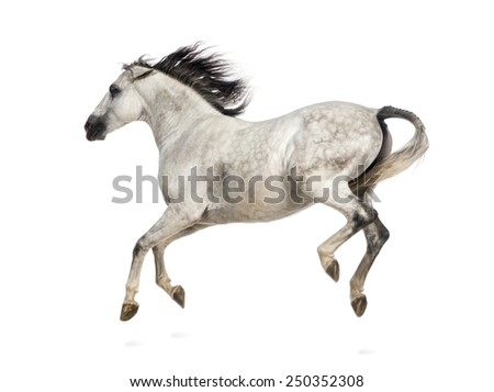 Andalusian horse kicking out