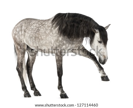Andalusian raising front leg, 7 years old, also known as the Pure Spanish Horse or PRE against white background - stock photo