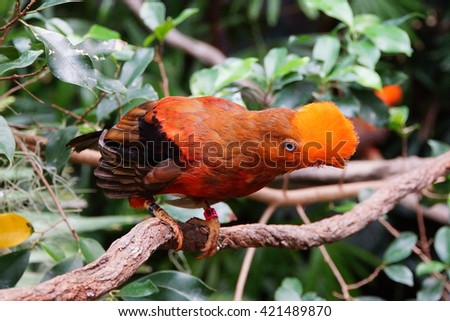 Andean cock of the rock (Rupicolo peruviana) perched on a branch, Seattle - stock photo